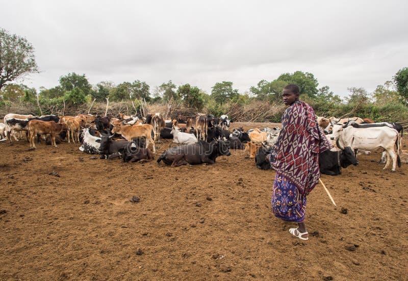 Maasai. Young Maasai warrior with his cattle in Maasai boma (village) in Tanzania, Africa royalty free stock photo