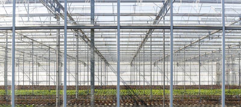 Maasdijk的荷兰莴苣温室 库存照片