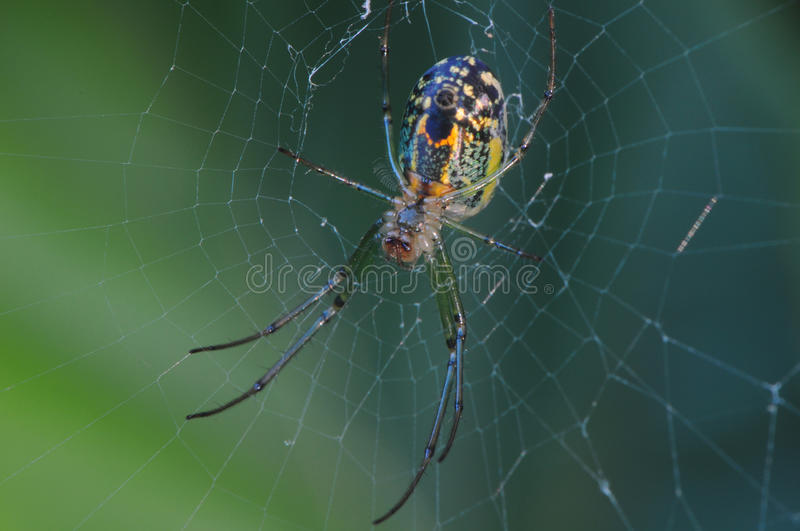 Mabel Orchard Spider royalty free stock photos