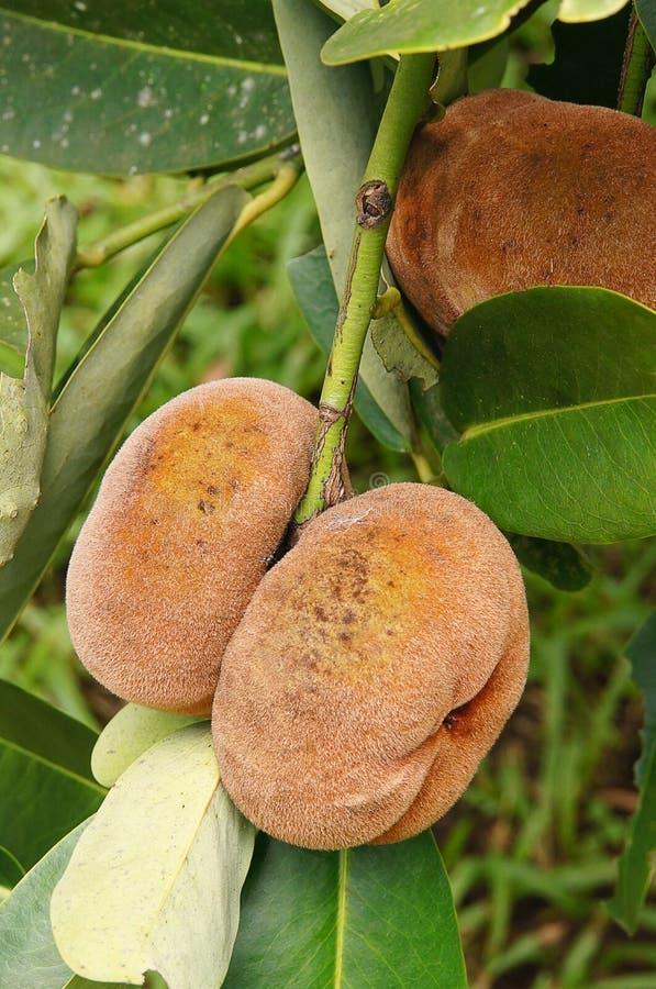 Mabolo velvet apple fruits stock photos