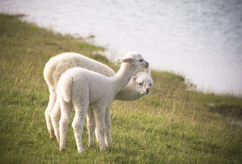 Maca da alpaca foto de stock