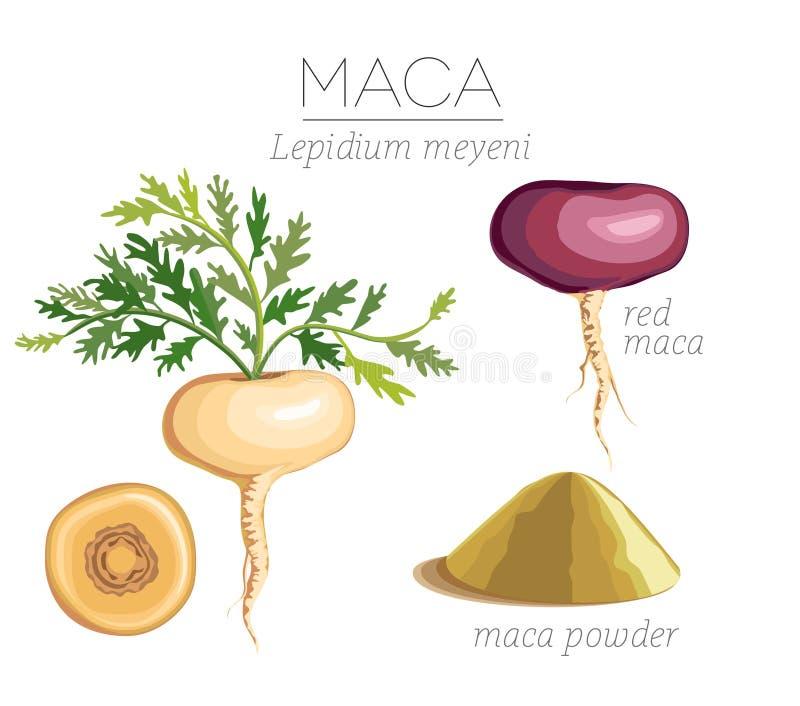 Maca Peruvian superfood. Roots and powder. Vector image vector illustration