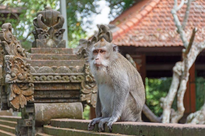 Macaca Fascicularis, lång tailed apa för Balinese arkivfoto