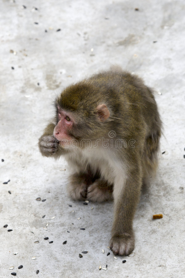 Download Macaca Fuscata Grey Japanese Monkey Stock Photo - Image: 9105104