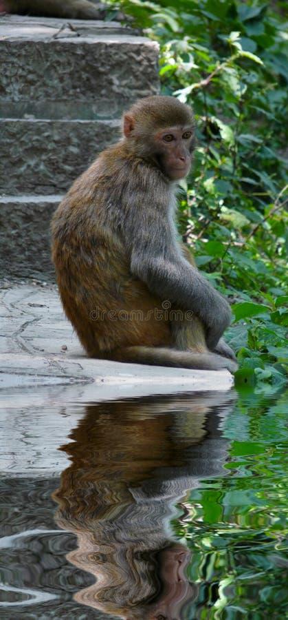 Macaca mulatta royalty free stock photo