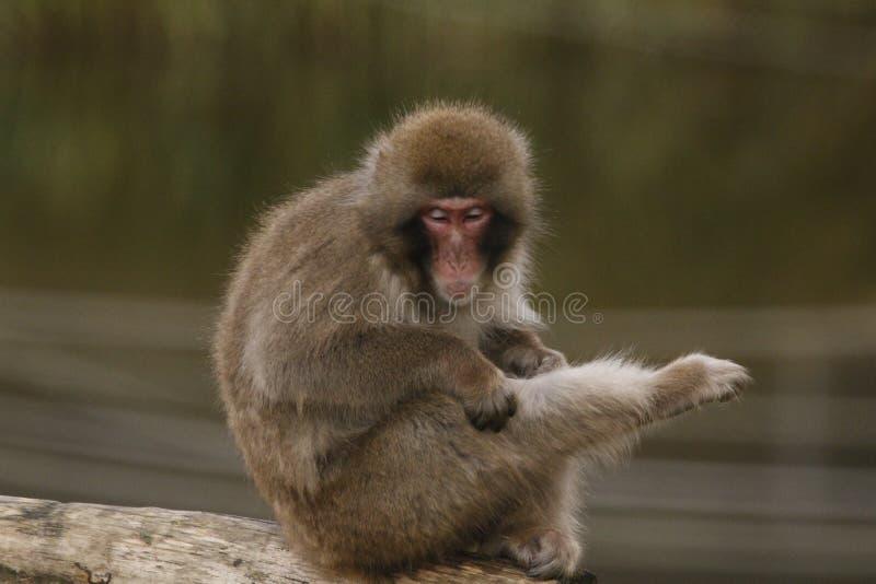 Macacafuscata, Japanse macaque, sneeuwaap het verzorgen, het stellen royalty-vrije stock foto's