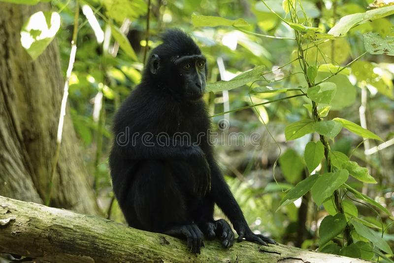 Macacanigra Sulawesi Zwarte Macaque royalty-vrije stock foto's