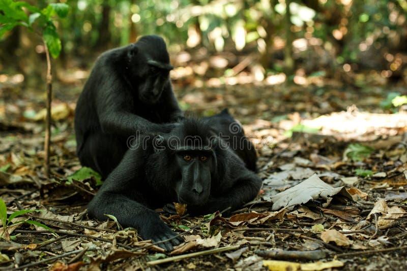 Macachi crestati di Celebes che si governano, comportamento tipico, macaco crestato nero endemico di etology, habitat naturale un immagini stock