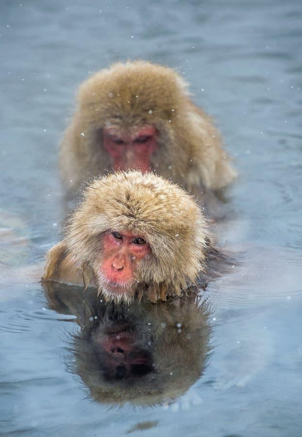 Macachi giapponesi in acqua delle sorgenti di acqua calda naturali Procedura di pulizia Il nome scientifico del macaco giapponese fotografia stock