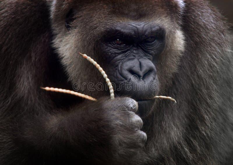 Download Macaco foto de stock. Imagem de olhos, escuro, prendido - 105768