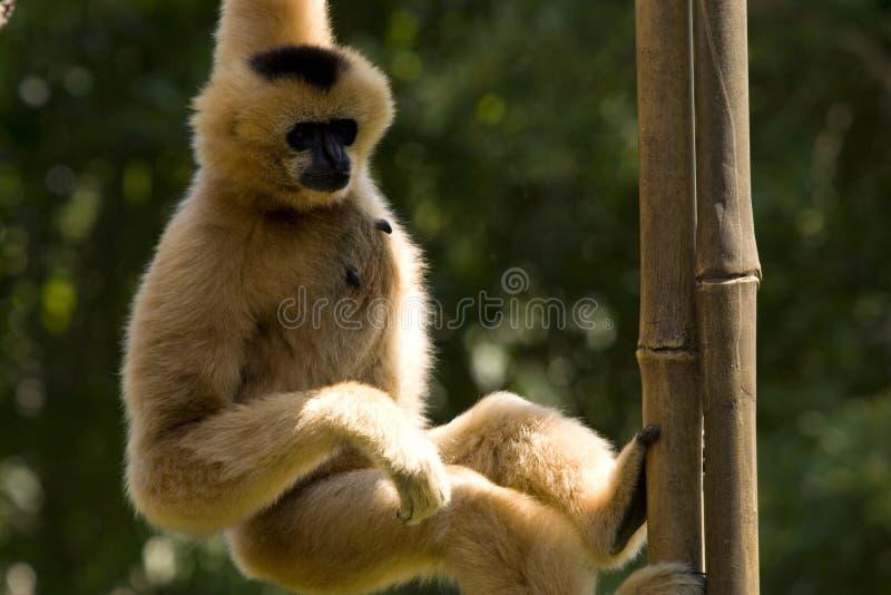Macaco! fotografia de stock royalty free