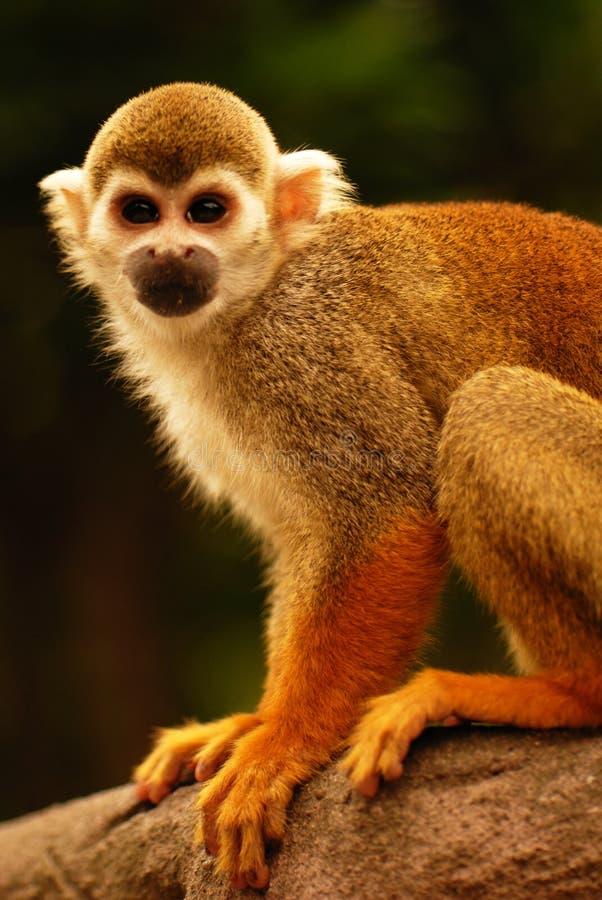 Macaco fotos de stock royalty free