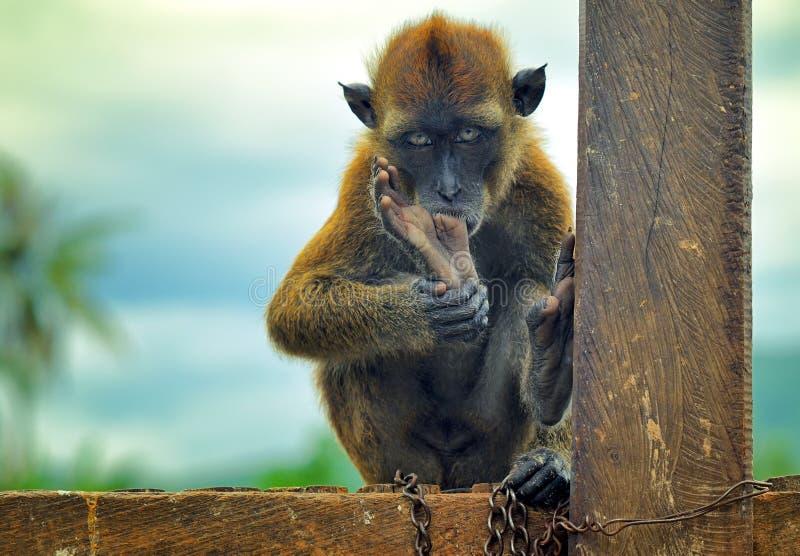 Macaco acorrentado foto de stock royalty free