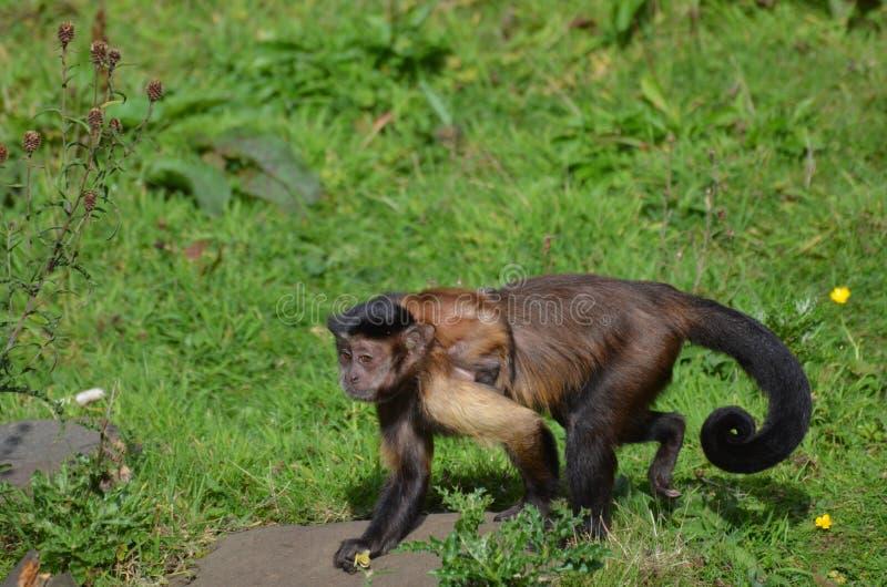 Macaco adornado do Capuchin com um Capuchin do bebê nele parte traseira do ` s fotografia de stock royalty free