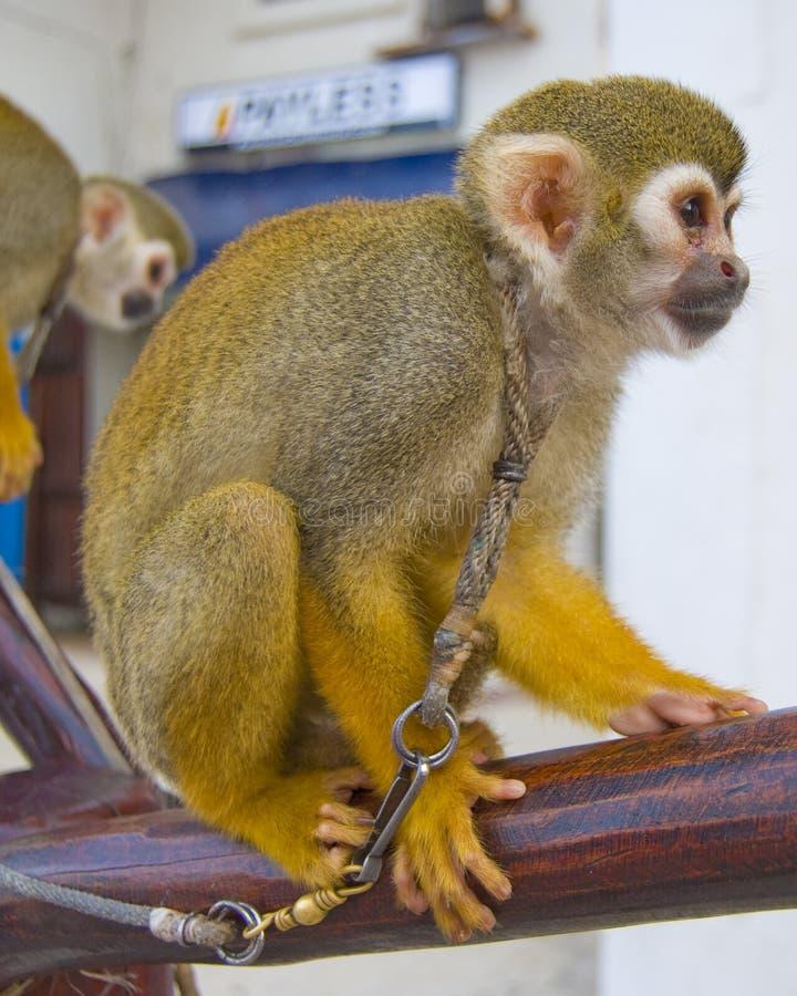 Macaco amarrado foto de stock royalty free