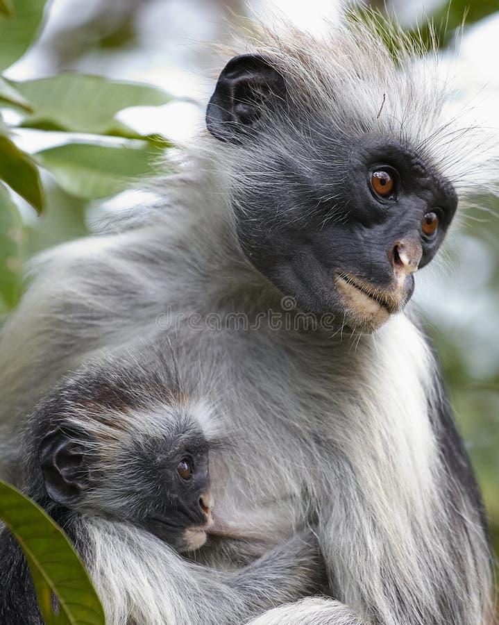 Macaco & criança de Colobus fotografia de stock