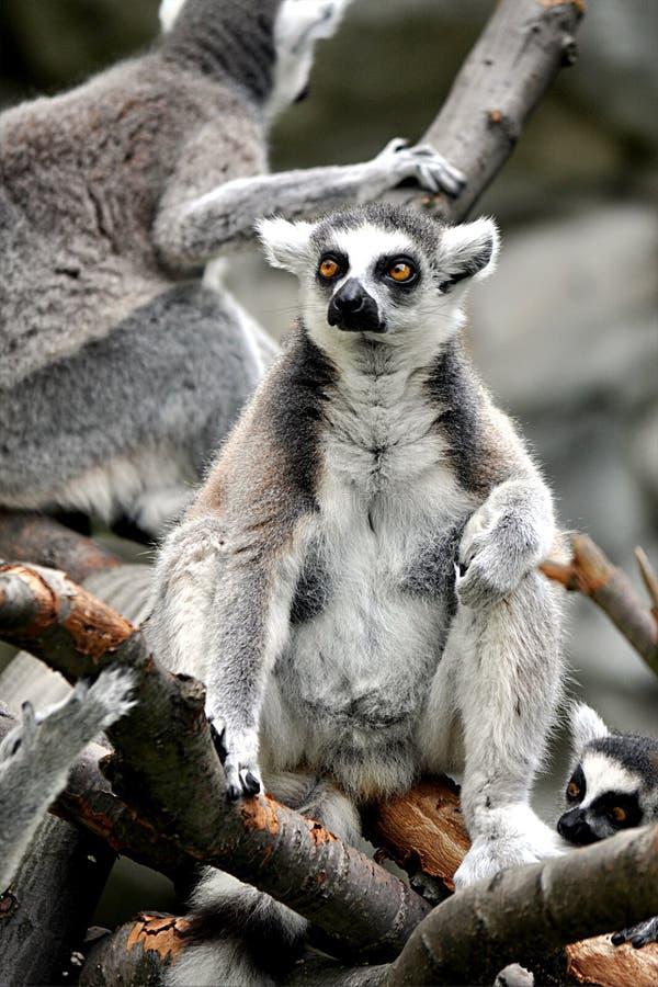 Macaco animal pequeno - lêmure na natureza foto de stock royalty free