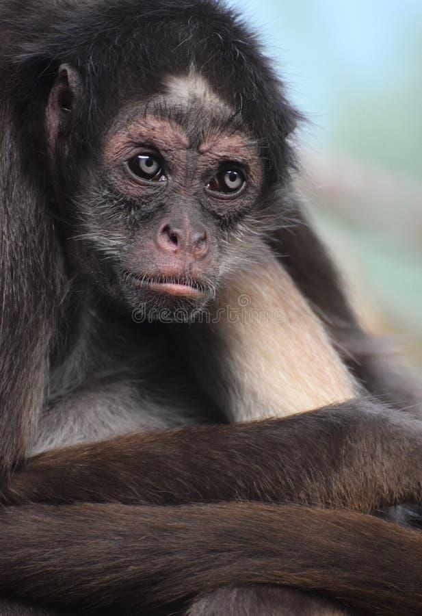 Macaco-aranha-marrom fêmea ou macaco-aranha variegado Ateles hybridus i foto de stock royalty free