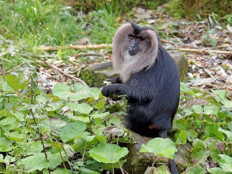 Macaco atado leão imagem de stock royalty free