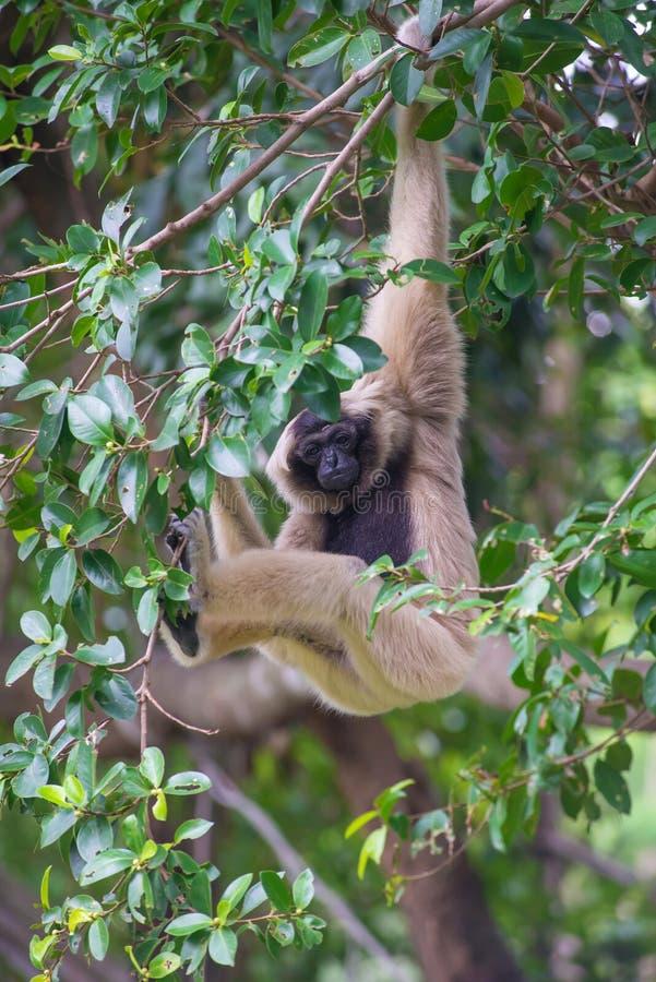 Macaco bonito branco de Cheeked Gibbon na árvore imagens de stock royalty free