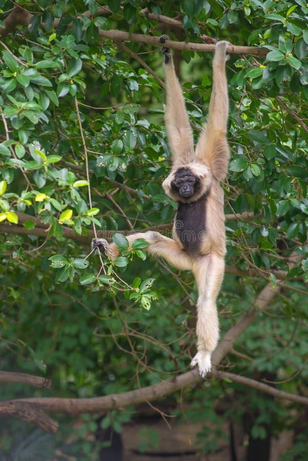 Macaco bonito branco de Cheeked Gibbon na árvore imagem de stock royalty free