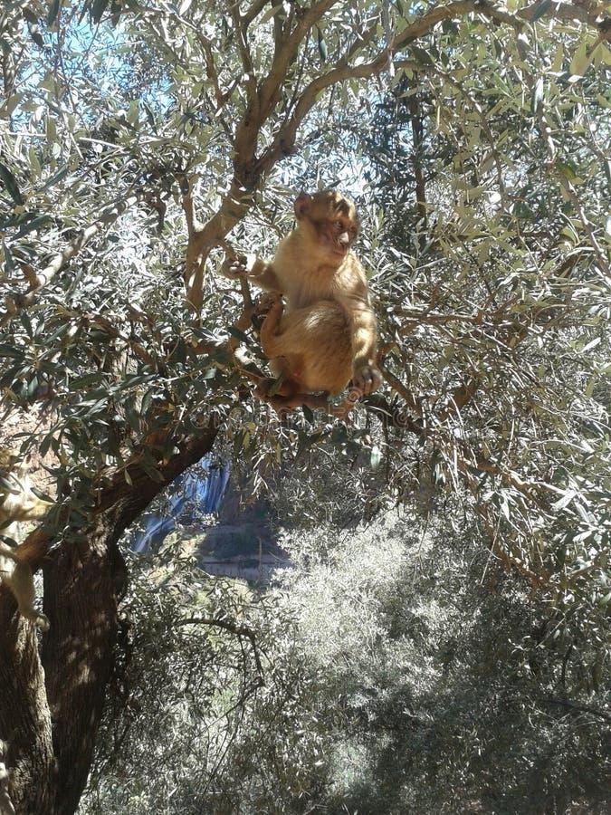 Macaco bonito no ouzoud Marrocos fotografia de stock royalty free