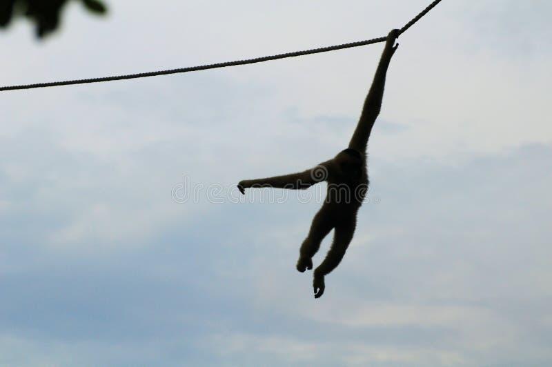 Céu azul da corda do macaco do Gibbon fotos de stock