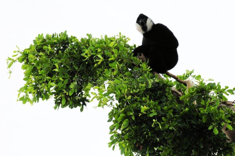 Macaco do Gibbon na parte superior da árvore foto de stock