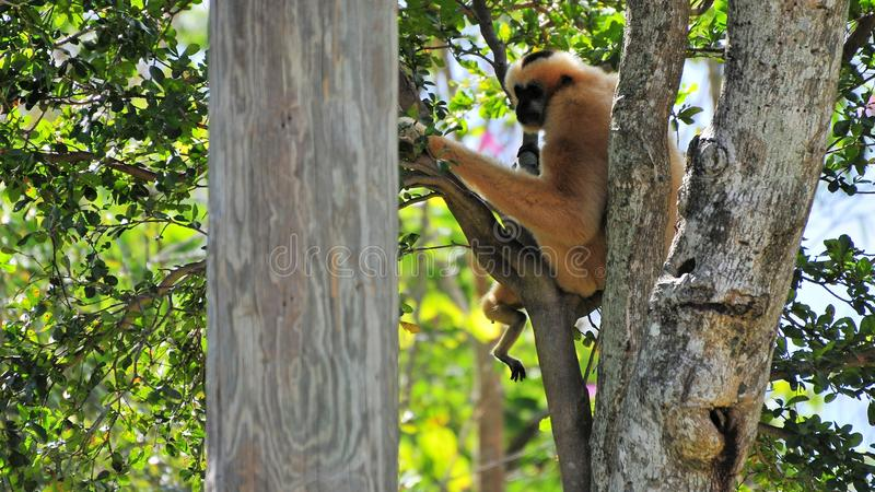 Macaco branco-cheeked fêmea de Gibbon fotos de stock royalty free