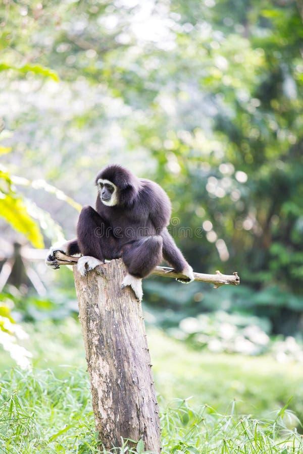Macaco branco de Gibbon da mão fotografia de stock royalty free