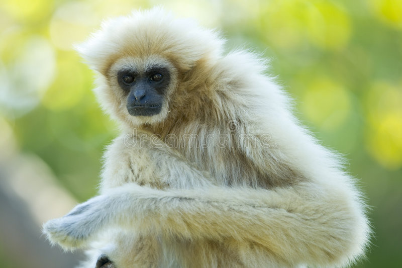 Macaco branco do gibbon fotos de stock royalty free