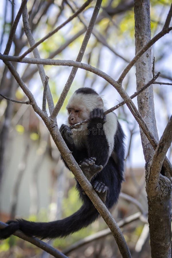 Macaco branco enfrentado ou do capuchin fotografia de stock