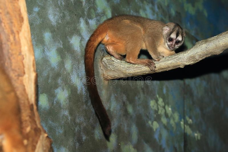 macaco Cinzento-entregue da noite foto de stock