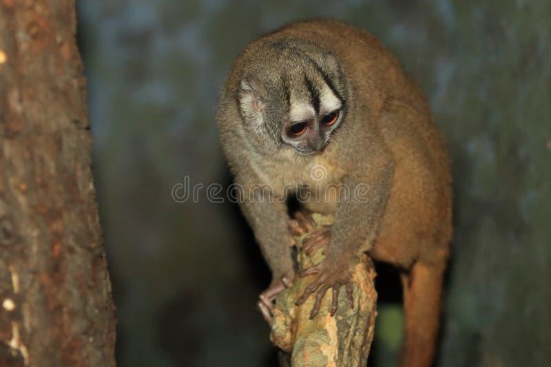 macaco Cinzento-entregue da noite fotos de stock royalty free