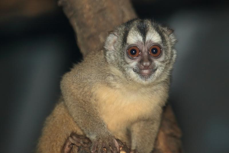macaco Cinzento-entregue da noite imagem de stock royalty free