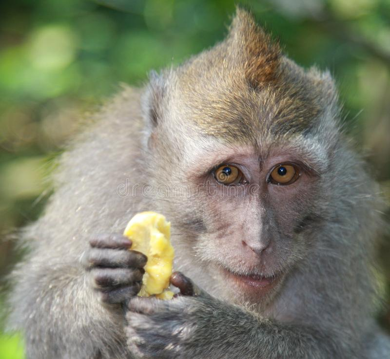 Macaco com banana imagens de stock