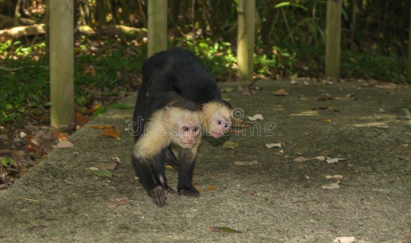 Macaco com bebê, Capucin em Manuel Antonio fotografia de stock royalty free