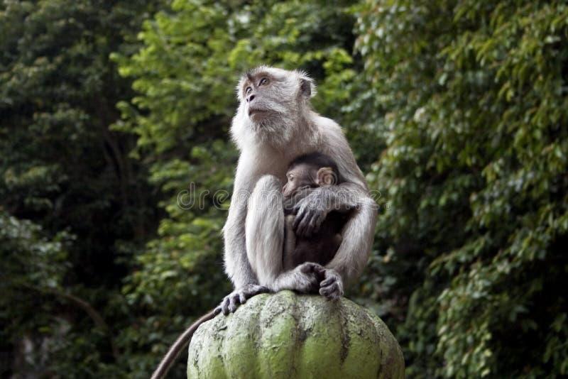 Macaco com o bebê em Malaysia imagens de stock royalty free