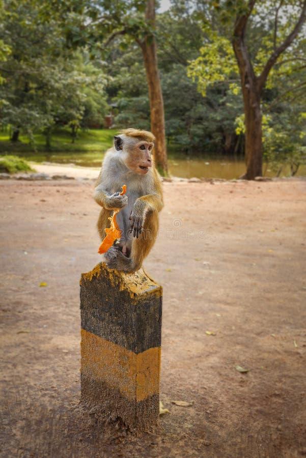 Macaco com uma pele da laranja imagens de stock royalty free
