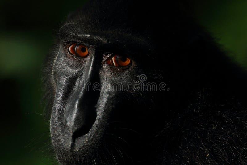 Macaco crestato nero di Sulawesi, riserva naturale di Tangkoko immagini stock libere da diritti