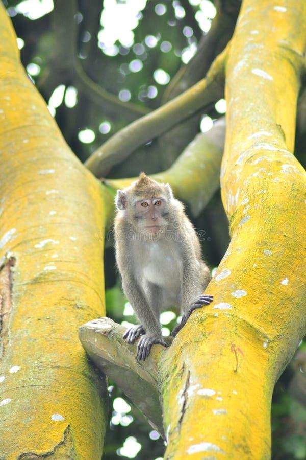 Macaco curioso nas madeiras fotografia de stock