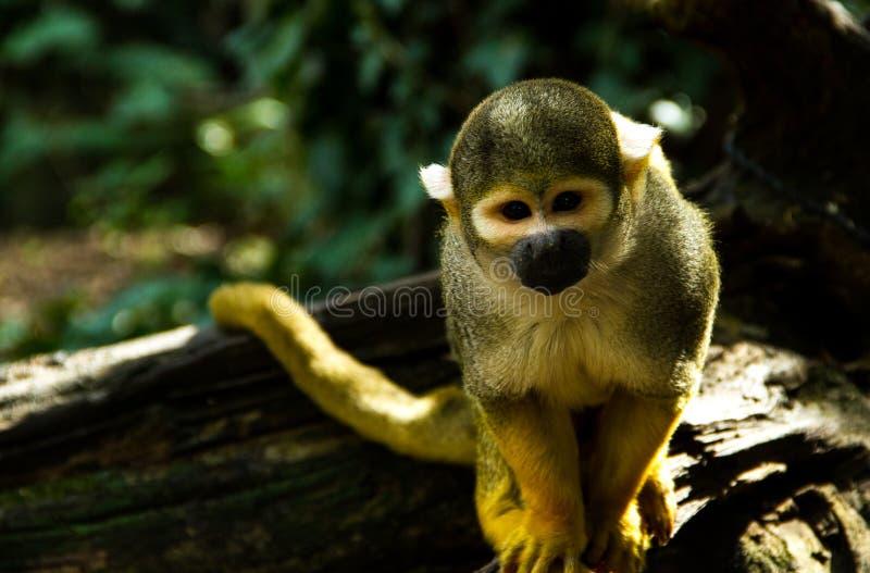 Macaco curioso que olha o fotos de stock royalty free
