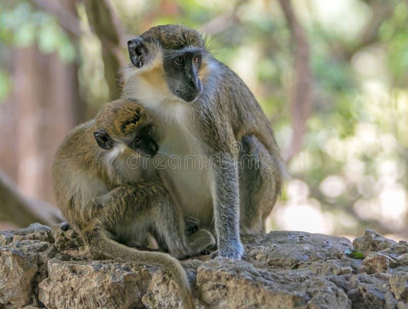 Macaco da criança que suga o melharuco fotografia de stock