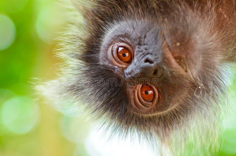 Macaco da folha de prata foto de stock royalty free
