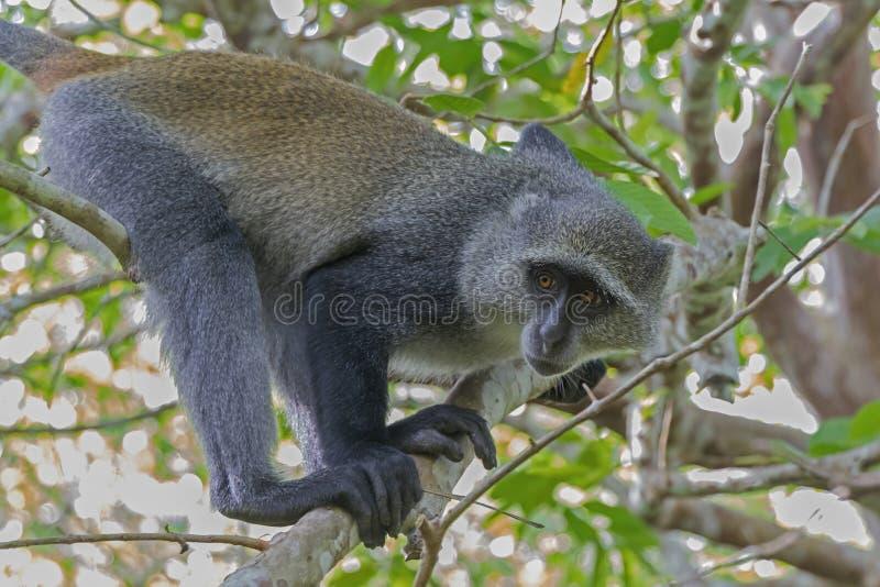 Macaco da ilha de Zanzibar imagens de stock royalty free