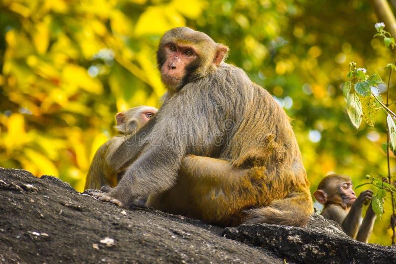 Macaco da mãe e suas crianças foto de stock