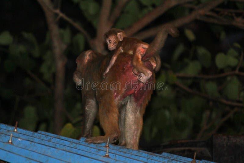 Macaco da mamãe fotografia de stock royalty free