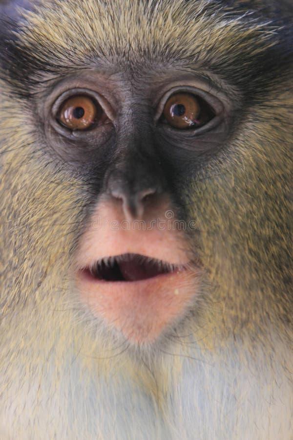 Macaco da Mona de Campbell fotografia de stock