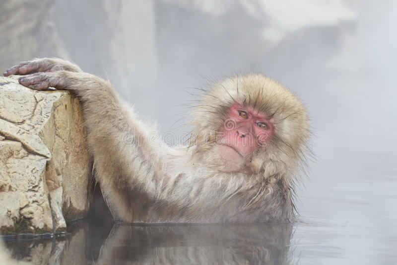 Macaco da neve na mola quente imagem de stock royalty free