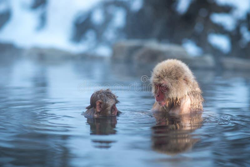 Macaco da neve na mola quente foto de stock royalty free